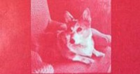 "Close up of the cover of ""The Queening of Ceridwen"" which shows a photo of a Welsh corgi dog sitting on a couch rendered in red and white"